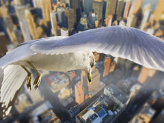 Stranger in a strangeland (Alternate version) (HOWLD) Tags: newyorkcity seagulls collage photoshop canon flying seagull multiple backdrop merged howd postprocessing alternateversion strangerinastrangeland 135mmf2 5dmiii howld proudwanderer
