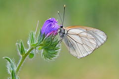 Aporia crataegi (Mascamit) Tags: macro natura viterbo farfalla lazio farfalle pieride aporia crataegi lepidottero bassanoromano