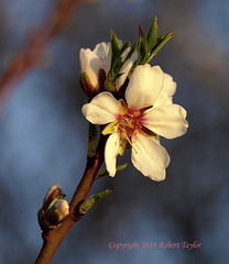 """""""They Thinks They Are Beautiful, Me Thinks They Are NUTS!"""" (Day Night Tripper) Tags: ranch flower tree blossom bokeh farm bees nuts honey almonds"""