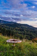 Parasol - Schwarzwald (Stefan Hewelt) Tags: mushroom schwarzwald parasolpilz schirmpilz