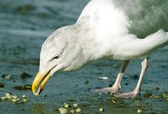 Starving (Rohit Ajitkumar) Tags: morning beach birds vancouver canon starving