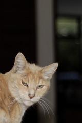 suspicious cat (Juan Manuel Bautista Hoepfner) Tags: orange cat amarillo gato striped rayado sospechoso