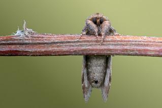 Notodonta ziczac (Pebble Prominent, Kameeltje)