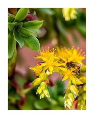 Spring (Luca Cesari) Tags: primavera nature spring natura bee 300mm insetto d800 nikkor300mm monipiede