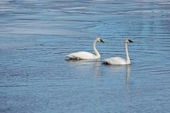 Trumpeter Swans, Minnesota, Washington County (EC Leatherberry) Tags: minnesota wildlife swans mississippiriver waterfowl trumpeterswan washingtoncounty cygnusbuccinator mississippinationalriveransrecreationarea