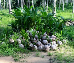 Coconuts germinate (rudolphfelix) Tags: travel tree green beach nature canon thailand island eos asia asien fotografie felix coconut south urlaub natur east insel backpacking rudolph koh palme ost reise sd kut paradies kood kokusnuss 2013 expedion 1000d