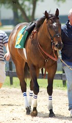 OBS Under Tack Show Two Year Olds (Shazstock) Tags: horse grey bay mare racing chestnut colt stallion thoroughbred equine filly