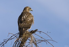 Red-Tail Hawk (swmartz) Tags: birds bird outdoors nikon nature newjersey mercercounty