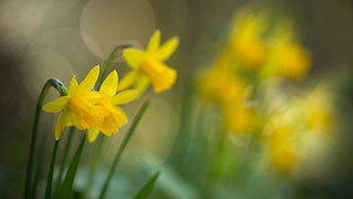 Daffodil Gossip