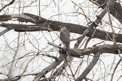 The Cooper's Hawk debates going in for another attack