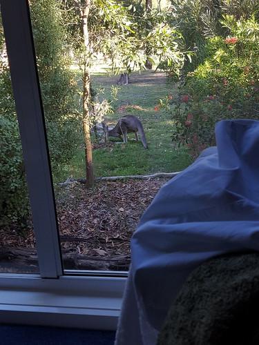Kangaroos in the garden at Corella cottage, Halls Gap