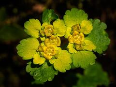 Colours of Spring III (Ody on the mount) Tags: anlässe blumenundpflanzen em5ii mzuiko6028 makro nahaufnahme omd olympus pflanzen schwäbischealb wanderung lauterach badenwürttemberg deutschland de
