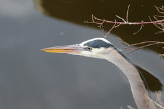 Great Blue Heron (fethers1) Tags: greatblueheron bird coloradowildlife belmarparklake belmarpark