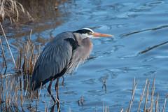 Grand héron/Great blue heron 08042017-_PM11856 (michel paquin2011) Tags: rouge grand héron parc des rapides échassier