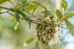 White-eyed Vireo and nest (JK's Photographs) Tags: white eyed viero chick bird fowl small nest dense cover hard see canon eos 7d mark ii ef70200mm f28l is usm 2x iii