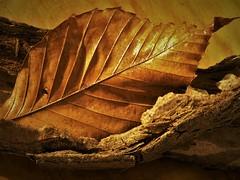 Leaf Glazing (Jenny Pics) Tags: leaf texture glaze glazing shine wood detail hmm macromondays