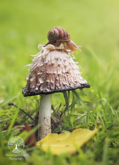 Just a snail and a mushroom! (sallyclark4) Tags: snail inkcapmushroom mushroom nature naturephotography