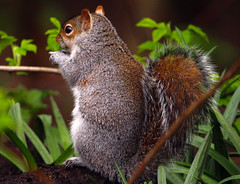 My precious..... (xDigital-Dreamsx) Tags: squirrel nature wildlife woodland forest countryside country park scotland animal grey red