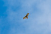 Hicks Lodge Buzzard 2 (Vinny Burns) Tags: 5dmk3 hickslodge 2017 5dmkiii bird 5dmarkiii 5d3 eos ef70200mmf28lisusmmk2 buzzard moira england unitedkingdom gb