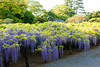 DSC_1552 (sayo-tsu) Tags: 藤 wisteria 牛島のフジ 春日部市 埼玉県 kasukabe saitama 特別天然記念物