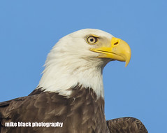 Bald Eagle Canon 5DSR 1005 crop see full size (Mike Black photography) Tags: bald eagle bird nature new nj jersey shore canon 5dsr 800mm l is usm lens big year birding april 2017