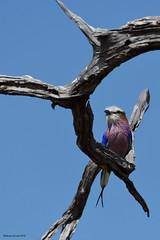 Lilac-Breasted Roller (naturalturn) Tags: lilacbreastedroller roller savanna tree savuti chobe chobenationalpark botswana image:rating=5 image:id=206078