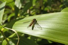 golden.fly (C.Kalk DigitaLPhotoS) Tags: fliege fly insect insekt fauna grün green natur nature animal tier wings flügel makro macro closeup outdoor