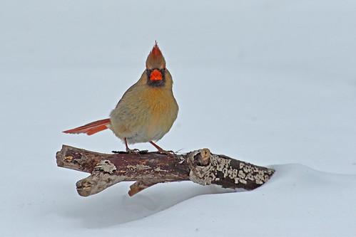 Cardinal rouge (femelle)