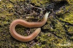 Sucking millipede (Siphonophorida) - DSC_3373 (nickybay) Tags: singapore macro chestnutavenue sucking millipede siphonophorida