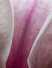 magnolia up close (kimbenson45) Tags: abstract closeup curved curving curvy differentialfocus flower lines macro magnolia nature petals pink plant purple shallowdepthoffield white