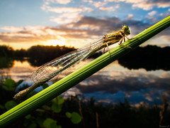 Life in a Pond (Eifeltopia) Tags: dragonfly libelle gemeinebecherjungfer enallagmacyathigerum eifel südeifel weiher laowa em5 venuslens wideangle weitwinkel reflektion sonnenuntergang sundown