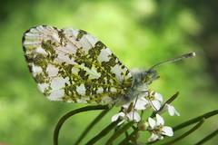 +IMG_3587 Hajnalpírlepke (Anthocharis cardamines) hím_cr (NagySandor.EU) Tags: pieridae fehérlepkék hajnalpírlepke anthochariscardamines törökbálint hungary male hím