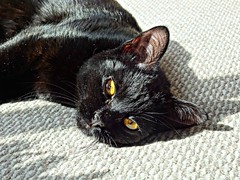 Exhausted (knightbefore_99) Tags: chat cat gato kitty kitten golden eyes cute furry feline tired relax noir black awesome whiskers cool