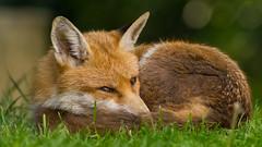 Urban fox Sleeping in my garden (Brent Hardy) Tags: fox vixen vulpesvulpes bbcspringwatch nationalgeographicwildlife myspring wildlife canonef400mmf56lusm uk canon6d sheffield