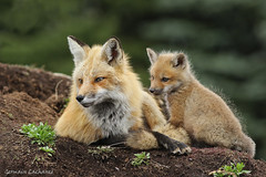 Renard roux (Red fox) (lachance.germain) Tags: roux renard