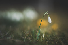 Just me (--StadtKind--) Tags: snowdrop flower blume spring frühling teamsony sonyalpha alphaddicted sony ilce7m sonyilce7m2 stadtkind bokeh dof depthoffield