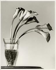 Callas (ewf_photography) Tags: film bw darkroom calla lillies flowers