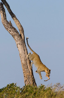 Leopard coming down from a tree