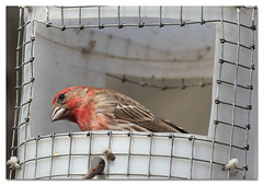 Life behind bars (Redtail10025) Tags: birds birding nyc central park house finch housefinch feeders