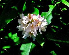#Licht und #Schatten (RenateEurope) Tags: rheinland nrw germany renateeurope rhododendron 2017 iphoneography flowers flora licht schatten awesomeblossoms