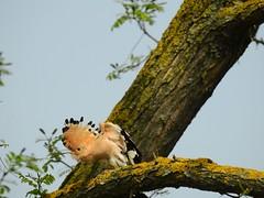Upupa (ddgp) Tags: upupa upupaepops uccello bird hoopoe albero tree cielo free