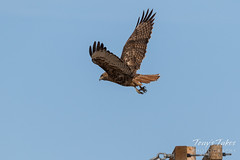 Red-tailed Hawk launch sequence - 3 of 15