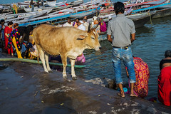 Los ghats (Nebelkuss) Tags: india utarpradesh varanasi benarés asia vacas cows ghats abluciones ritual fujixpro1 fujinonxf35f14
