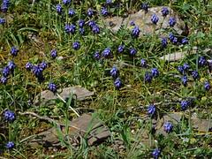 Μπλέ λουλούδια του Υμηττού (Anna Voulgari) Tags: ymittos spring athens greece terra attica