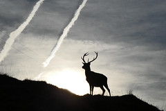 Stag sillouette (ruth spotlight) Tags: stag red deer sillouette