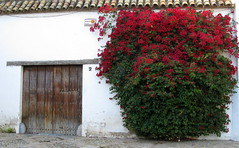 A door onto the square, Córdoba, Andalucía, Spain (Spencer Means) Tags: dwwg door doorway wood wooden vine bush flowering flowers red square plaza córdoba andalucía andalusia spain espagne spagna españa