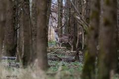 4D3A7789 (marcwalter1501) Tags: damadama daim forêts animaux selestat illwald 5dmk4 canon cervidé