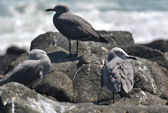 Baño de sol / Sunbathing (Javiera C) Tags: chile arica nature naturaleza costa coast ave bird wildlife fauna animal gaviota seagull gaviotagaruma leucophaeusmodestus graygull