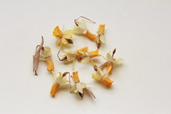 Fragility (Micheo) Tags: dolor pena tristeza flores daffodils narcisos fragile frágil fragilidad fragility floressecas