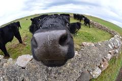 Welsh Black Beef calf (cmw_1965) Tags: welsh black beef calf cattle cow bull bullock fisheye lens sker close